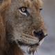 LionShiir