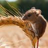 Mouserd