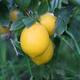 lemonsandshade
