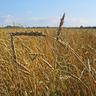 WheatGogo