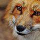 FoxForexTeam