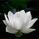 LotusPetal