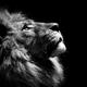 Lion247
